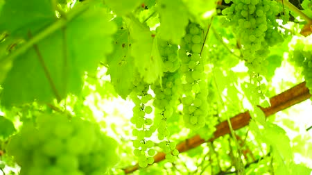 Ripe organic green, white grapes on the branches of the vineyard.