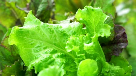 Lettuce leaves in the wind. Growing lettuce, green lettuce leaves closeup Vídeos