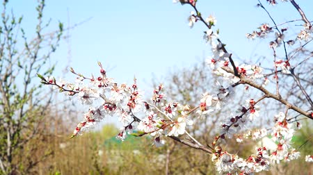 meruňka : flowering apricot tree in the spring. White flowers on tree flowering season, fruit tree