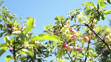 Apples on an apple tree branches against blue sky background. Pink organic apples on tree.