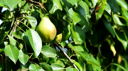 pear on tree branches closeup, fruit growing. Ripe fruit in the garden, organic products