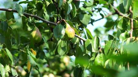 pereira : fruit is juicy ripe pears on branch in the garden. branches of the pear tree hanging ripe juicy fruits. time to harvest. Fruit trees