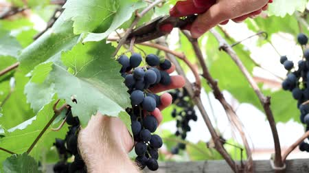 viticultura : hand of the farmer cuts the black grapes. Fruit harvest in the garden Stock Footage