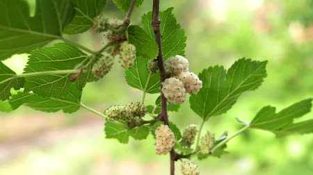 morinda : white mulberry berries, on a tree branch, ripe fruit berries. Growing organic fruits in the garden Stock Footage