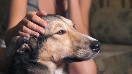close-up portrait of a dog. the girl petting the dog, pet, home Stok Video