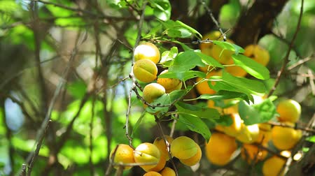 morele : ripe orange apricots in the garden in a sunny summer day. organic fruit, harvest