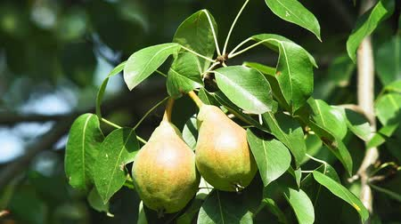 груша : ripe pears on a tree branch on a bright Sunny day. organic fruit in the garden