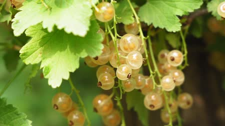 смородина : white currant on the branches of a shrub. growing berries in the garden.