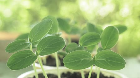 leaves sprouts of cucumbers. first leaves growing vegetables Vidéos Libres De Droits