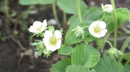 Spring blooming strawberry grows on the bed. Summer white strawberry flowers. Stok Video