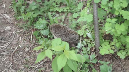 hedgehog in the grass wild selective focus