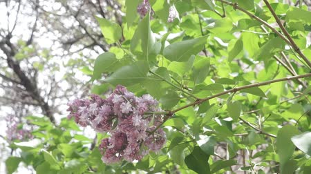 lilac flowers on the branches of the tree. flowering plants of spring Stockvideo