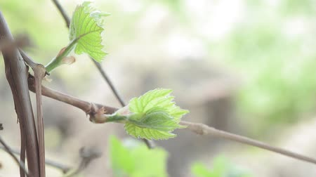 first grape leaves in spring, close-up. vine, growing a vineyard