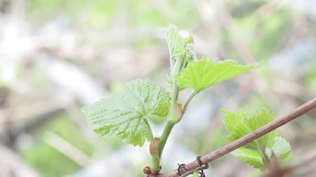 First leaves From the Buds of a Graph in spring close up. plants in the spring Stock mozgókép