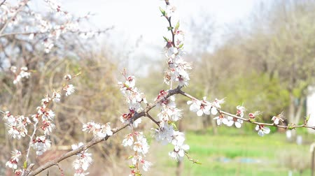 morele : apricot tree blooms in the spring. apricot trees on farmland in early spring, blooming apricot trees