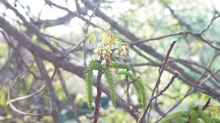 Flower of walnut on the branch of tree in the spring. selective focus