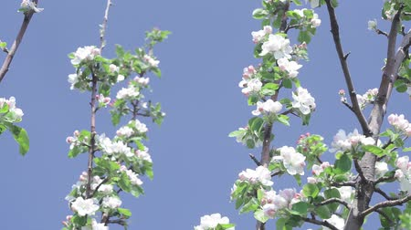 Flowering apple tree branches in the garden. Fruit trees with white and light pink flowers in close-up. spring nature.