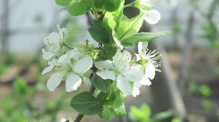 Spring Apple tree flowers blossom timelapse, close up. flower, blooming orchard tree, gardening.