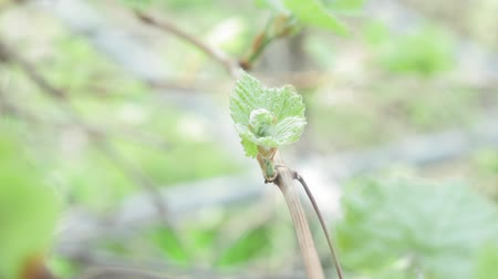 First leaves From the Buds of a Graph in spring close up. plants in the spring Wideo