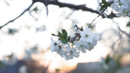 flowering cherry tree, a branch with small white inflorescences in early spring. against the setting sun Stock mozgókép