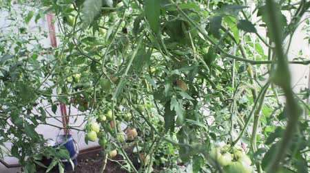 serra : green tomatoes in the greenhouse. growing organic vegetables on the farm Filmati Stock