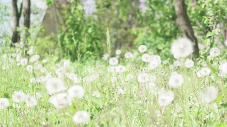 makro fotografie : fresh spring green grass on pretty meadow. Dandelion plant with medicinal effect. Summer concept.