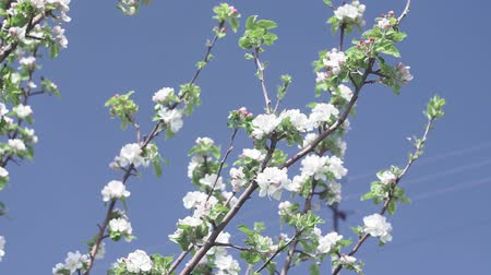 lehet : flowering fruit Apple tree in the garden. spring season. against the blue sky, summer, spring.