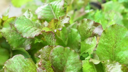 saŁata : juicy green lettuce leaves close-up. growing organic vegetables Wideo