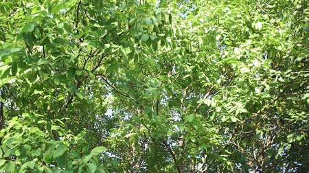 hull : walnut tree. Green walnuts on the tree branch in garden. Walnuts on the branch.
