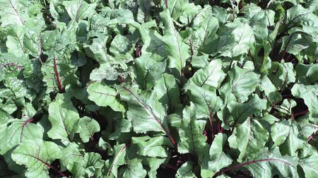 saŁata : background of green beet leaves close-up. growing organic vegetables