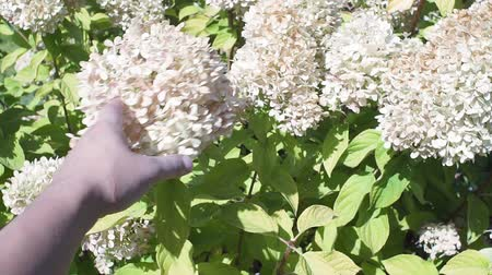 клумба : white shrub Hydrangea paniculata sways in the wind in the garden in summer. Landscape design. Стоковые видеозаписи