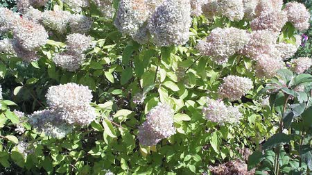 hortensia : Hydrangea paniculata bush with hydrangea flowers that sway in the wind. Flower bush in the summer. Outdoor recreation. Garden flowers