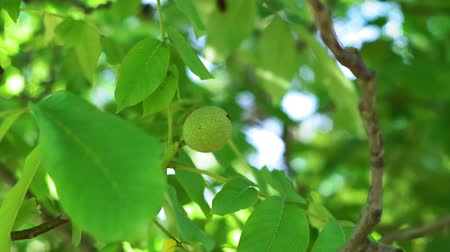 občerstvení : Green walnuts on the tree branch in garden. Walnuts on the branch. Nuts on the tree. Unripe walnuts