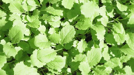 основной : green mustard leaves growing plants. Fast-growing vegetation planting of main crop Стоковые видеозаписи
