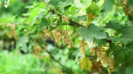 zahradník : white currant on a Bush branch. Berries of ripe white currants grow on a bush in the garden.