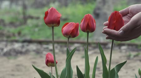 сады : red tulips in the spring. womens hands touch flowers Стоковые видеозаписи