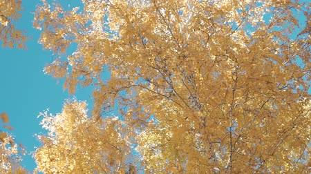 október : yellow leaves in autumn against a blue sky. natural background