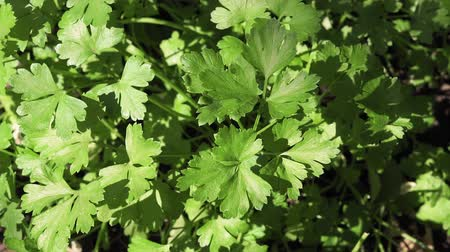 parsley : fresh green celery close-up of the plant Stock Footage