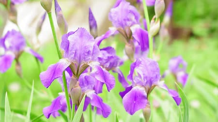 장식 정원 : purple irises on a natural background
