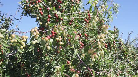 śliwka : Indian Jujube or beer or berry Ziziphus mauritiana . ripe fruit on the branches of the tree