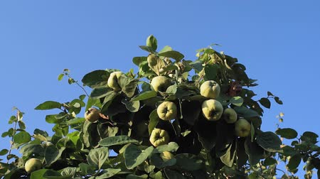 pigwa : chinese quince fruits on the tree. growing organic fruit in the garden Wideo