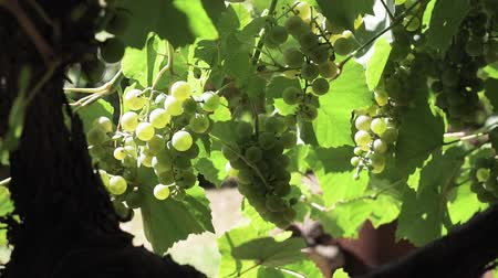 vinná réva : bunch of ripe green grapes in the vineyard. raw fresh and juicy. harvest