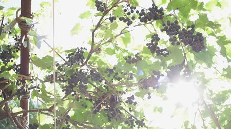 szőlőművelés : black grapes of the vineyard ripened in autumn. Vineyard: The Grapes Are Ripe On The Vine For Making Wine
