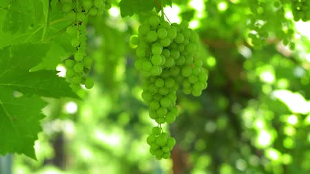 vinná réva : Ripe bunches of white wine grapes winery. Green leaves, authentic rural vineyard Dostupné videozáznamy