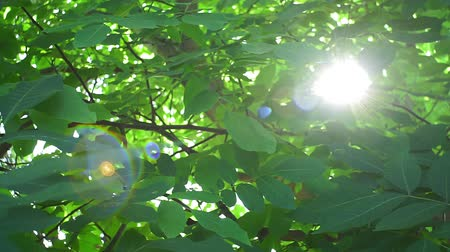 orzech : walnut tree on a bright Sunny day, the sun through the tree branches, lens glare. organic nuts, growing plants. Summer background, beautiful tree in the garden Wideo