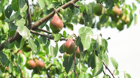 pears : harvest of ripe pears on a tree in the garden. organic fruit growing