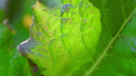 saŁata : green lettuce leaf close-up macro. growing lettuce, natural background