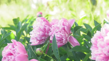 piwonie : beautiful pink peonies in the garden, nature, spring, flowering