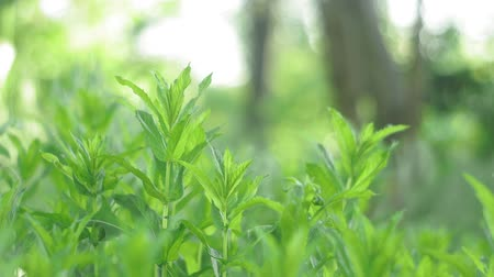 fodormenta : mint on a natural summer background. grown on the field and is ready for processing and consumption.