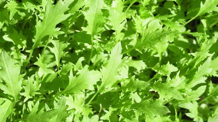 saŁata : arugula lettuce leaves close-up. growing healthy organic plants background